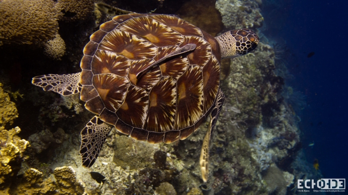 Just imagine if all these beautiful sea turtles disparaged from our oceans.  Diving just would not be as much fun
